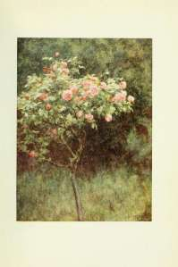 59-study-of-a-rose-bush